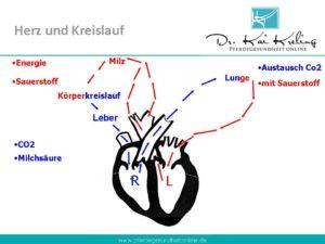 Blutkreislauf des Pferdes