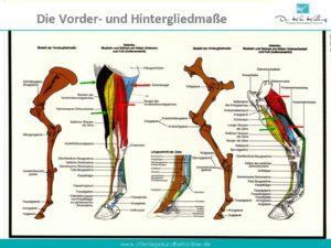 Sehnen Bänder Muskulatur